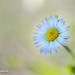 fresh+daisy+autumn