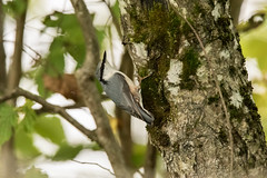 Eurasian Nuthatch (Sigurd R) Tags: eurasiannuthatch semsvannet sittaeuropaeaeuropaea asker autumn forest norge norway spettmeis akershus no