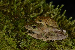 Green-eyed Tree Frog (Litoria serrata) (shaneblackfnq) Tags: greeneyed tree frog litoria serrata shaneblack amphibian mossman rainforest tropics tropical fnq far north queensland australia amplexus mating