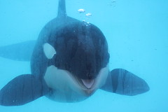 IMG_6887 (Bebelouga) Tags: orque marineland killerwhale orca