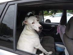 Sad Eyes (BarryFackler) Tags: mangocourt shoppingcenter kealakekua hawaii dog car animal parkinglot pet companion vehicle mammal canine backseat automobile 2016 westhawaii bigisland hawaiicounty polynesia sandwichislands hawaiiisland tropical barronfackler island northkona hawaiianislands barryfackler kona