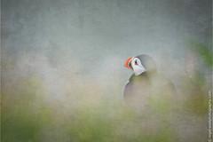 DSC_4394-2 (nigelsnell) Tags: birds puffinfraterculaarctica salteeisland bird ononesoftware photo10 textures