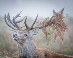 I'm the king of the forest (Nedko Nedkov) Tags: wildlife red deer stack bushy park london morning mist