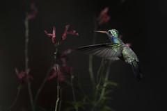 Broad-billed Hummingbird - Arizona (www.studebakerstudio.com) Tags: broadbilled hummingbird broadbilledhummingbird bird studebaker arizona madera flowers flight nature wildlife