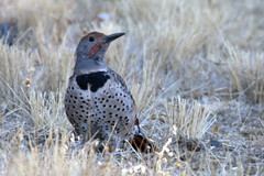 Northern Flicker (Colaptes auratus) (uncle.dee9600) Tags: bird northernflicker colaptesauratus telephoto nikon nikond7200