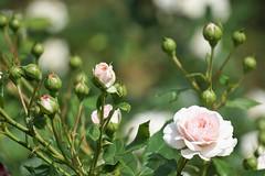 rose buds_2016 (Zygmunt Su...) Tags: saveearth