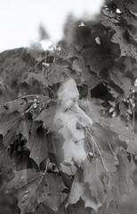 Skogsr (Magnus Bergstrm) Tags: canonae1 canon ae1 analog bw blackwhite blackandwhite kodak kodaktmax100 kodaktmax tmy 100tmx sweden sverige vrmland double exposure multiple doubleexposure leaf leaves portrait hair tree