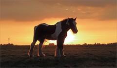 sunset horse (daaynos) Tags: sunset horse silhouette sky landscape light hoeksewaard dehoekschewaard