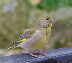 Juv Green finch (3) (Simon Dell Photography) Tags: birds nature photography wildlife sheffield uk england 2016 old new pic photo xxx pigeon tea cup cute awsome sick