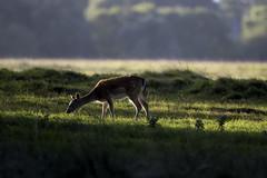 3H8A3931 (shay connolly) Tags: fallow deer dublin phoenix parl wildlife shay connolly