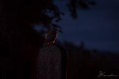 Tawnyowl_grave (JKonradsen Photography) Tags: midnight night backlight backlit rimlight graveyard vrneschurch cemetary owl tawnyowl jkonradsen