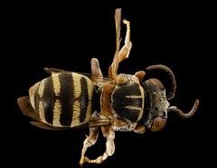 Epeolus howardi, back, Caroline Co., MD_2016-09-20-11.45 (Sam Droege) Tags: zerenestacker stackshot geologicalsurvey unitedstatesgeologicalsurvey departmentoftheinterior droege biml beeinventoryandmonitoringlaboratory bug bugs canon closeup macro insect patuxentwildliferesearchcenter pwrc usgs dofstacking stacking canonmpe65 taxonomy:binomial=epeolushowardi bee bees apoidea hymenoptera pollinator nativebee stevewestre anderscroft carolinecounty maryland sand rare parasite