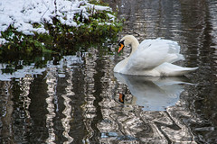 Schwan_Winter (romuepic) Tags: 2015 donaueschingen schwan tierbilder winter