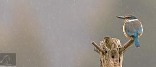 Sacred Kingfisher 42