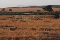 10077937 (wolfgangkaehler) Tags: 2016africa african eastafrica eastafrican kenya kenyan masaimara masaimarakenya masaimaranationalreserve wildlife mammal bigcat predator predatory bigfive lionpantheraleo lioness femaleanimal lionpride walking grassland grasslands
