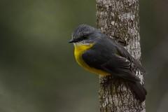 The regular Robin pose (Luke6876) Tags: easternyellowrobin robin bird animal wildlife australianwildlife
