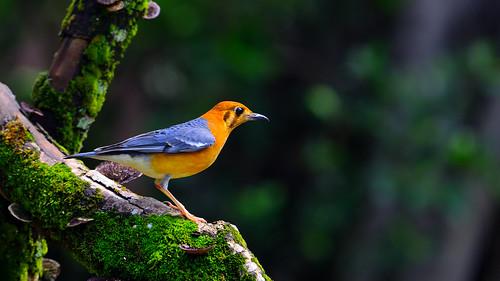 橙頭地鶇/Orange-headed Thrush