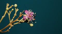Quadrella odoratissima (Aura Aguirre D) Tags: capparaceae quadrella odoratissima olivo atlantico barranquilla flor morada estambres