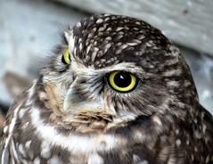 The burrowing owl (EcoSnake) Tags: burrowingowl owls birds wildlife rescues idahofishandgame naturecenter