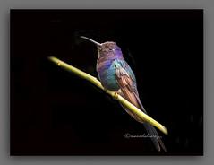COLIBR. (manxelalvarez) Tags: colibr beijaflor picaflor zumbador guanamb trochilidae specanimal