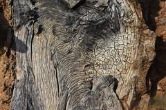 Soca (esta_ahi) Tags: boscdecansuriol soca tronc tronco arbre árbol penedès barcelona spain españa испания santcugatsesgarrigues