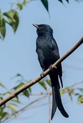 Drongo (Nishith_Pursnani) Tags: drongo bird birds vasai maharashtra india indian black shine small beautiful nature wild wildlife wildness jungle nikon tamron nishith pursnani nmp