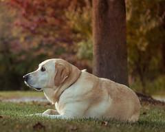 Casey in Autumn-6.jpg (elektratig) Tags: dog dogs labrador yellowlabrador stillwater sussexcounty newjersey