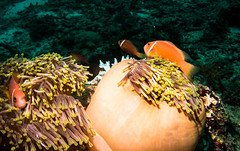 (missfisher') Tags: anemone fish indianocean maldives