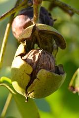 walnut (hoangcongminh71) Tags: juglansregia