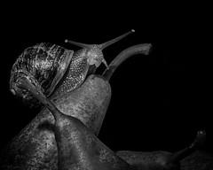 pears (rich lewis) Tags: mono monochrome macro macrophotography blackandwhite snail pears richlewis