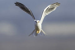 White-tailed Kite (X68_9063-1) (Eric SF) Tags: whitetailedkite raptor coyotehillsregionalpark fremont california ebparksok ebpark