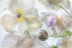 Japanese anemones (Mandy Disher) Tags: frozen japaneseanemones pink garden flower floral flora ice cold