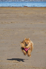 Flying Dog. (CWhatPhotos) Tags: flying 100mm prime ef focus 28 f28 playful pet cwhatphotos canon 7d lens eos camera photographs photograph pics pictures pic picture image images foto fotos photography artistic that have which contain portrat portraited pup puppy dog canine pomeranian pomeranium pom love affection colourfull sandy light brown cute adorable portrait animal beach seaburn roker sunderland run running trot trotting zwergspitz dwarfspitz dwarf spitz pompom flickr
