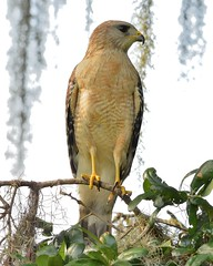 1OK_5441 (68photobug) Tags: park usa birds animals nikon florida reserve sigma raptor wetlands marsh predator preserve lakeland sanctuary redshoulderedhawk refuge naturecenter winterhaven polkcounty discoverycenter environmentalcenter wildlifemanagement circlebbar 150500mm d7000 pinescrub 68photobug