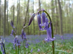 Hallerbos (ines saraiva) Tags: primavera bluebells spider spring woods abril bosque april lente avril floresta printemps halle jacinto flowercarpet spinnen araignes aranha vorst bleuet wildehyacinten jacinthesdesbois boisdehal jacintosdosbosques halllerbos