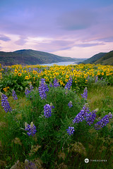Rowena Overlook (Timescapes.us) Tags: flowers sunset oregon portland moss canyon columbiariver waterfalls cascades mthood pacificnorthwest streams hoodriver columbiarivergorge volcanicrock historiccolumbiariverhighway nationalscenicarea timescapes lushlandscape bernardchen rowenaoverlook
