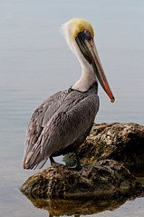 Brown Pelican (tomblandford) Tags: brownpelican birdlovers audubonmagazine birdshare dailynaturetnc11 photoofthedaynwf12