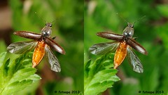 Kniptor onbekend - Elateridae indet. Small version 1920 x 1080 pixel cross-view L40_0243a (fotoopa) Tags: macro closeup inflight crosseye crosseyed c objects insects thuis highspeed crossview flyinginsects highspeedflash insectsinflight strobic highspeedcapture highspeedmacro fotoopa inflightinsects lasercontrol vliegendeinsecten lasercamera crosseyedphotography ttlflashcontrol flyinghighspeedinsects highspeedlaserdetector irlaserdetection hardwareforinflightinsects diyinflightcapture diyflashsetup highspeedhardware multiplelaserdetection clpdhighspeedcontroller insectenfotografie vliegendebeestjes fotosvliegendeinsecten picturesinflightinsects sb80dxflash