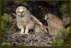 The Owlet Stretch (ctofcsco) Tags: road ranch usa mountain canon drive centennial flying colorado shadows unitedstates dr w great explore raptor owl coloradosprings walgreens blvd rd owls extender vindicator horned 2x 400mm 1div mygearandme