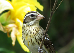 Rose Breasted Grosbeak  (Female) (ceropegia) Tags: portrait bird nature rose closeup female wildlife alabama feeder grosbeak pgw breasted pheucticus ludovicianus etowahcounty hwac pregamesweepwinner