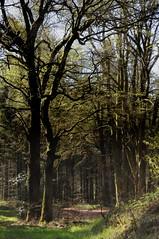 Eichen und die Zwölf-Apostel-Buchen; Messingen, Baccumer Wald HS8_4601 (Chironius) Tags: messingen emsland germany deutschland niedersachsen allemagne alemania germania германия baum bäume tree trees arbre дерево árbol arbres деревья árboles albero árvore ağaç boom träd buche fagus rotbuche faia kayın beuken бук bok eiche quercus oak chêne дуб roble quercia rovere ek carvalho meşe eik lingenerhöhe deutscheeiche quercusrobur stieleiche rosids fabids buchenartige fagales buchengewächse fagaceae landschaft wald forest forêt лес bosque skov las