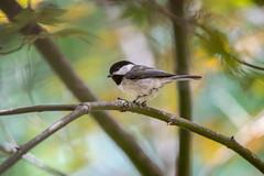 Chick-A-Dee (Lane Rushing) Tags: nature birds animals backyard bokeh wildlife chickadee shallowdof d600 bigmomma herowinner