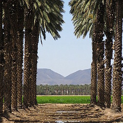 every valley shall be exalted (Sangroncito) Tags: desert oasis dates bard imperialvalley dategrove