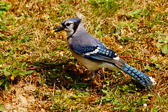 DSC06113 (Timbo Connard) Tags: birds bluejay wv westvirginia bluebirds mountaineer songbirds backyardbirds mountaineerphotomemories