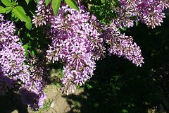 Central Experimental Farm Lilacs 015 (Chrisser) Tags: flowers ontario canada nature garden spring gardening ottawa fourseasons closeups lilacs syringa oleaceae centralexperimentalfarm canonefs1855mmf3556islens canoneosrebelt1i
