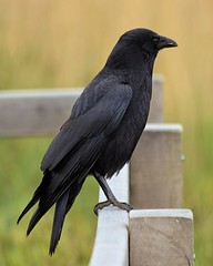 Carrion Crow (DougRobertson) Tags: crow rspb supershot
