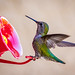 "Green backed hummingbird... • <a style=""font-size:0.8em;"" href=""https://www.flickr.com/photos/41711332@N00/8758947345/"" target=""_blank"">View on Flickr</a>"