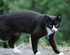 feral tuxedo cat in Morningside Park (hshuldman) Tags: new york nyc morning wild urban west eye abandoned nature amsterdam animal cat canon photography rebel drive eyes kitten feline bokeh harlem manhattan side broadway parks harry kitty upper domestic telephoto purr stray meow greater 75300mm dslr morningside catseye uws feralcat feral felis hiss t3i catseyes telefoto nycparks carnivora felidae nycpark caturday shuldman hshuldman harryshuldman