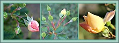 The Darling Buds of May, (Megspics .) Tags: roses buds quintaflower rosebuds macrophotography