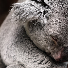 le sommeil ! (stef.starco) Tags: nature animal canon zoo wildlife koala 41 peluche loiretcher beauval zoodebeauval 70200mml saintaignan zooparc staignan canon7d stefstarco 70200mmislusmii